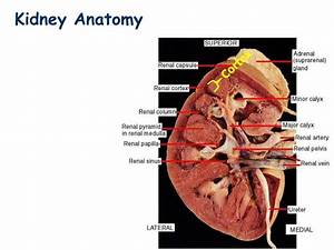 Ppt - Kidney