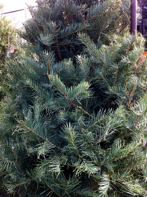 concolor smell like oranges christmas trees concolor fir tree 171 farms