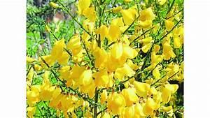 Busch Mit Gelben Blüten : ginster wichtiges futter f r bienen ~ Frokenaadalensverden.com Haus und Dekorationen
