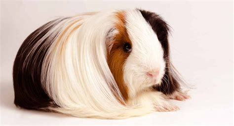Peruvian Guinea Pig Facts Personality Care With Pictures