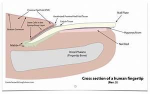 Anatomy Of Fingernail