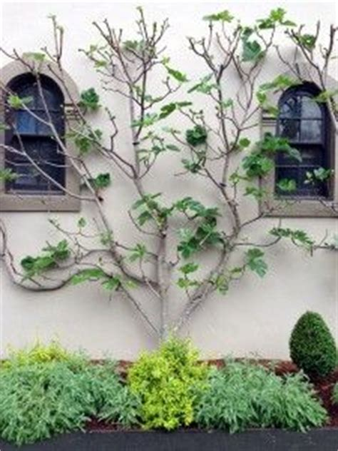 espalier fruit trees in containers espalier trained ficus brown turkey fig tree in willow basket container garden pinterest