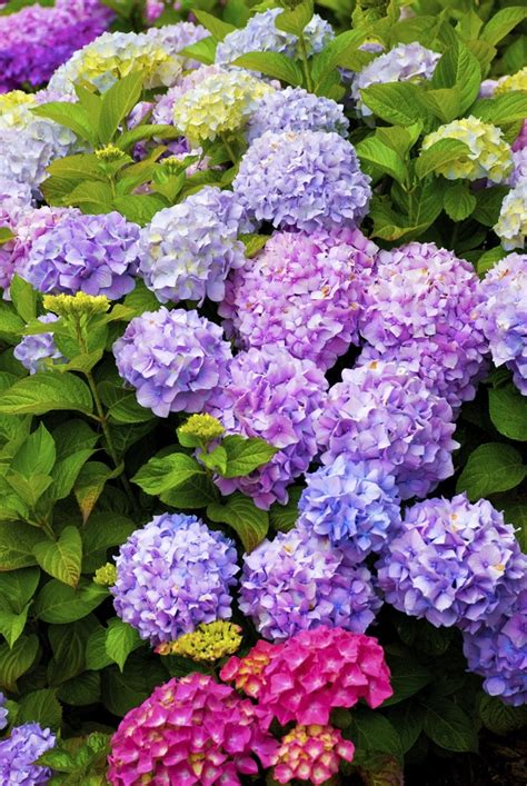 Cape Cod Hydrangea Fest Kicks Off With Opening Night Party
