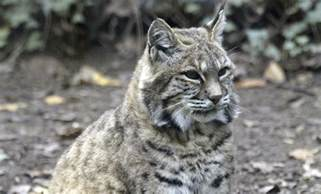 food care packages bobcat smithsonian 39 s national zoo