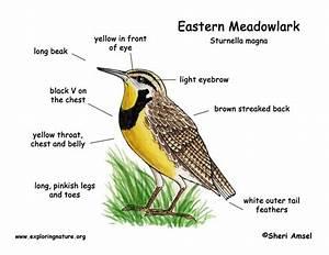 Meadowlark  Eastern