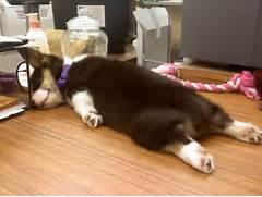 Baby Siberian Husky Sleeping   i imgur com    Adorable Husky Puppy Sleeping