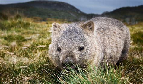 common wombat australian animals nsw national parks