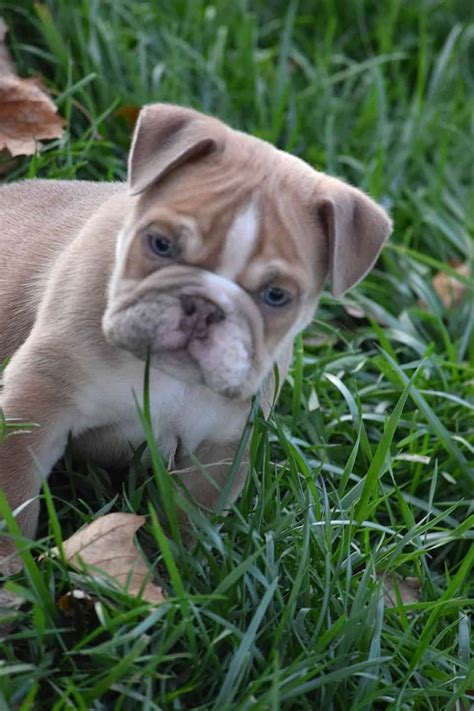 fawn chocolate english bulldog puppy  sale