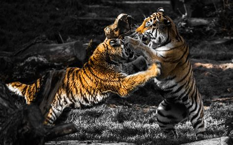 Hd Wallpapers Animals Tigers - tiger fight wallpaper free gamefree