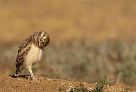 burrowing owl audubon california