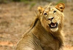 File:Lion head turned.jpg