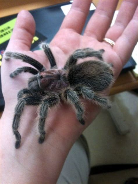 pet tarantula the o jays originals and pets on pinterest