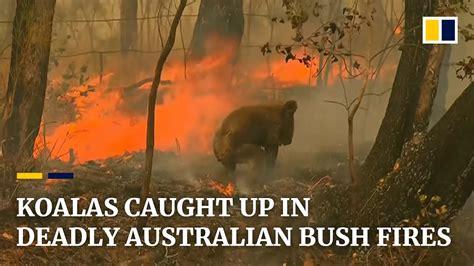 koala rescued  deadly australian bush fires youtube