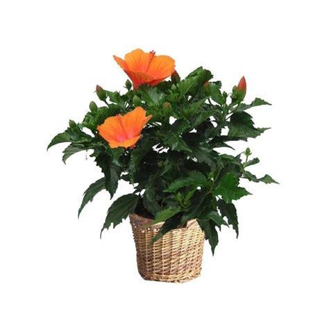 hibiscus orange cache pot gt gt livraison express plantes et jardins