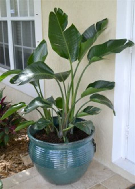 how to grow a bird of paradise in a container