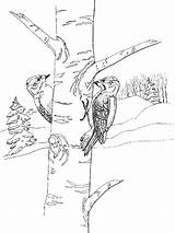 Pages Coloring Woodpecker Birds Printable Woodpeckers Recommended sketch template