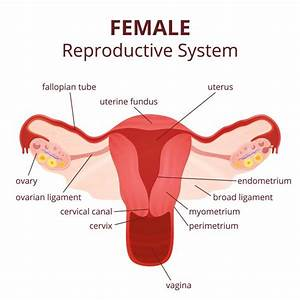 Labeled Diagram Of The Female Reproductive System And Its