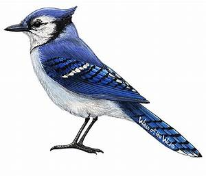 Blue Jay Wall Decal Bird Wall Decals Animal Wall Decals