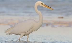 the white heron analysis