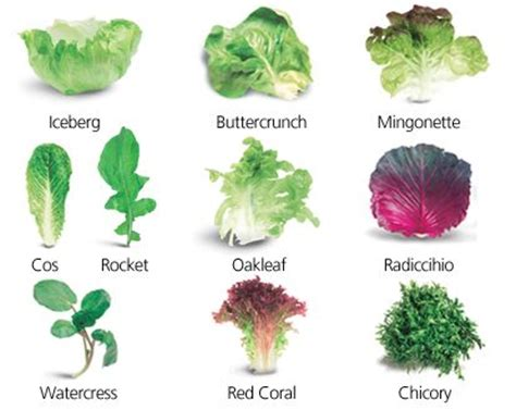 kinds of lettuce greens picture of assorted lettuce leaves iceberg buttercrunch mingonette cos rocket oakleaf