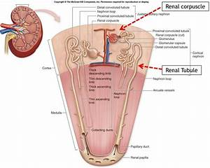 86 Best Urinary System Images On Pinterest