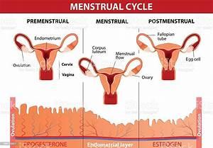Menstrual Cycle Stock Illustration