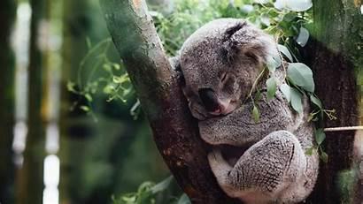 Koala Sleeping Tree Wallpapers Animals Walls