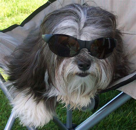 pictures  havana silk dog puppy  rgang