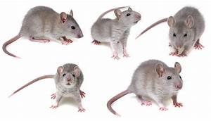 Unterschied Maus Ratte : rattenbefall im haus hof und garten pest profi ~ Lizthompson.info Haus und Dekorationen