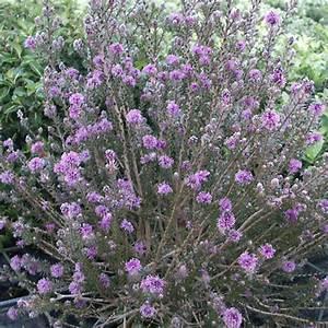 Plantes Et Jardin : melaleuca squameux plantes et jardins ~ Melissatoandfro.com Idées de Décoration