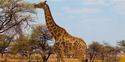 giraffe facts animals  africa worldatlascom