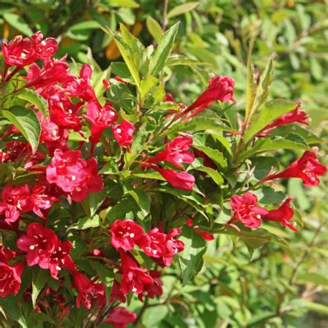 arbuste fleuri en pot 28 images un cadeau fleuri et plein de vie le bougainvillier en pot