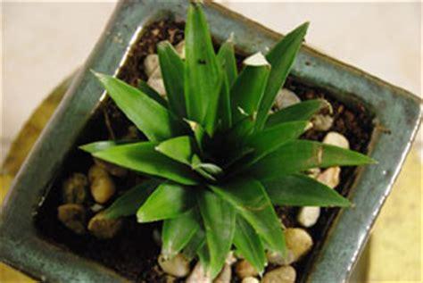 planter un ananas en pot plante exotique int 233 rieur tout