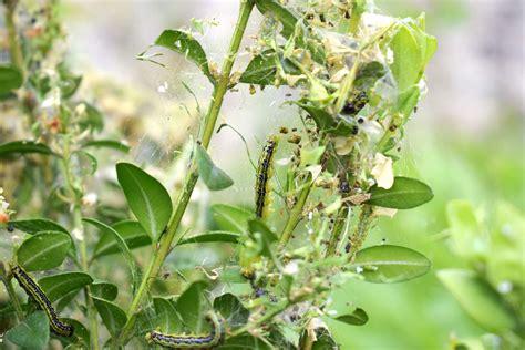 Buchsbaum Raupe Giftig by Buchsbaumz 252 Nsler Erkennen Vorbeugen Bek 228 Mpfen Plantura