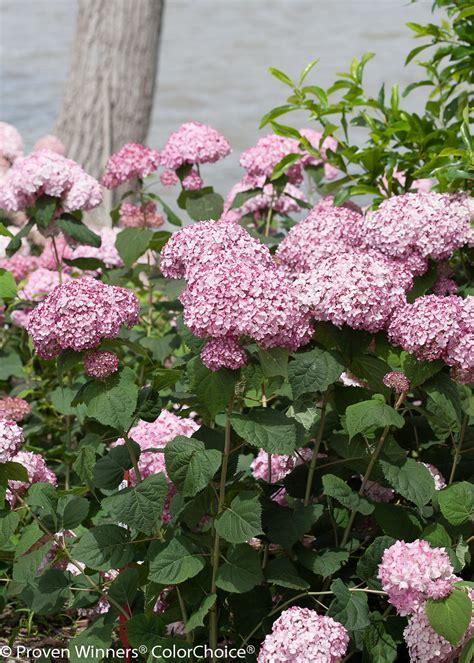 pruning incrediball hydrangea incrediball 174 blush smooth hydrangea hydrangea arborescens proven winners