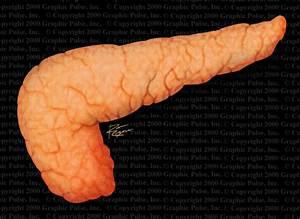 Pancreas  Pancreas Regeneration