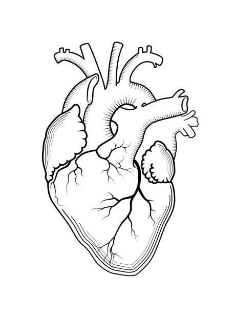 illustrations  human heart vector art  graphics