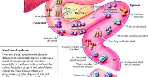 gi tract sites  absorption diagram httpwww