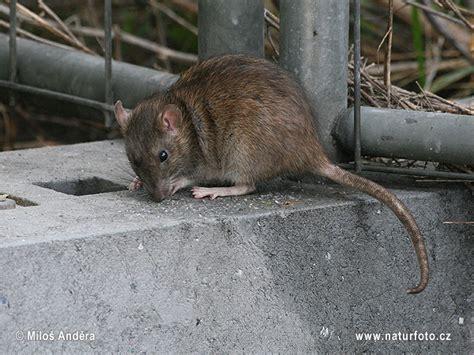 rattus rattus pictures black rat images nature wildlife