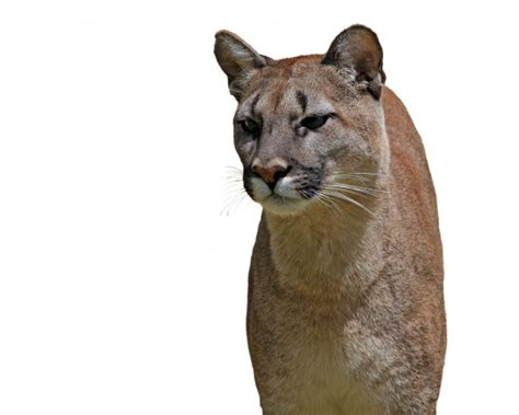 cougar  white background  stock photo public