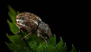 How To Get Rid Of Rice Bugs  Rice Weevils  Naturally
