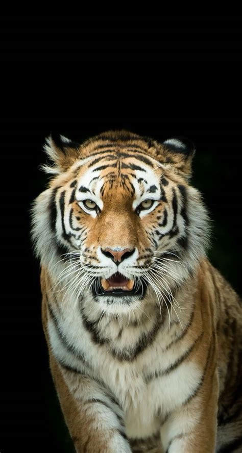 Animal Wallpapers For Iphone - the 25 best tiger wallpaper iphone ideas on