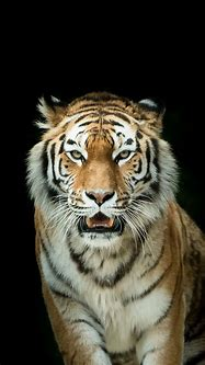 Best 25+ Tiger wallpaper iphone ideas on Pinterest ...