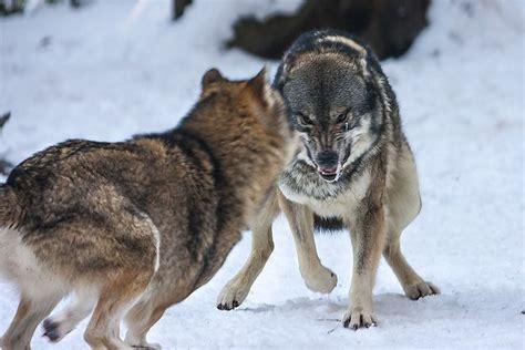 angry wolf  tobi gdeviantartcom  atdeviantart angry