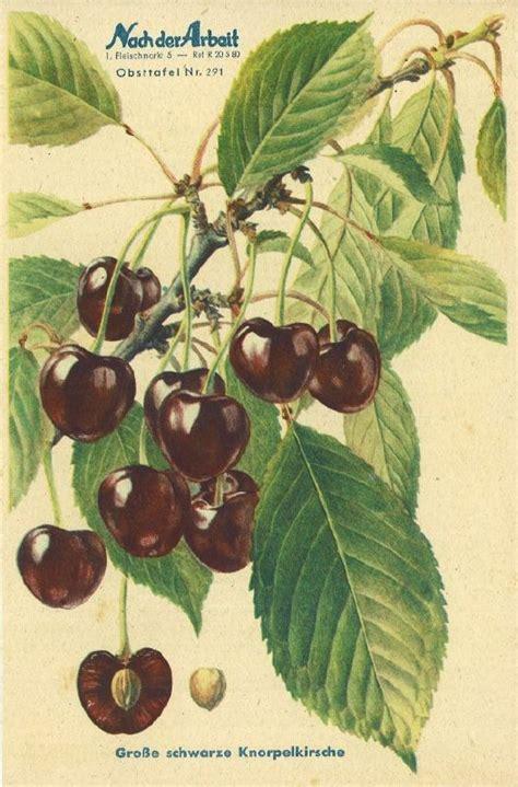 grosse schwarze knorpelkirsche kaufen biobaumversandde