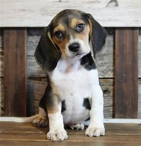 Akc Pocket Beagles For Sale Online Cheap
