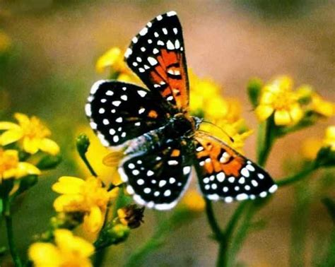 butterfly species general knowledge