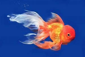 Goldfish  A