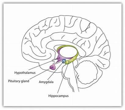 Limbic System Emotions Brain Amygdala Social Diagram