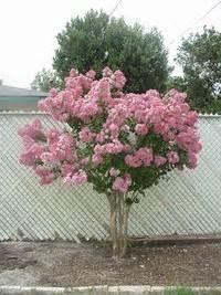 choosing a small ornamental tree dave 39 s garden